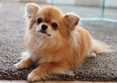 kleiner Hund Diego liegt auf Teppich